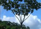 Viveiro_ipe_embauba_005