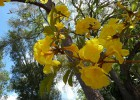 Viveiro_ipe_ipe_amarelo_002