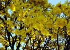 Viveiro_ipe_ipe_amarelo_004