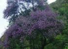Viveiro_ipe_jacaranda_bico_de_pato_007