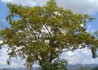 Viveiro_ipe_jacaranda_canzileiro_002