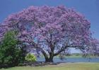 Viveiro_ipe_jacaranda_mimoso_003